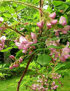 Flowering Rose Acacia tree - Robinia hispida