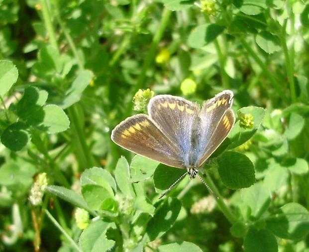 Volvoreta Polyommatus icarus