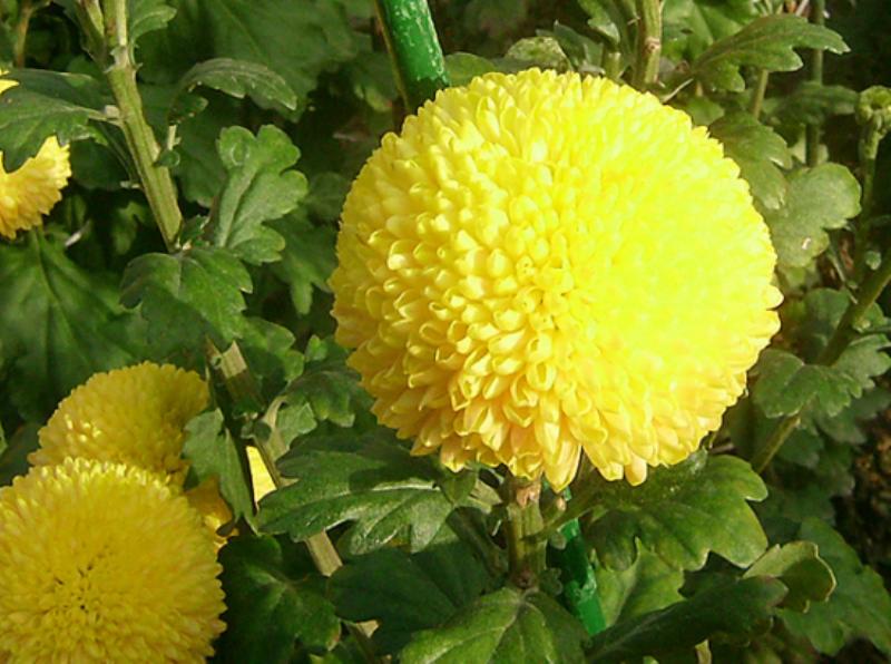 Simbolo del sol el crisantemo chrysanthemum taringa - Como cultivar crisantemos ...