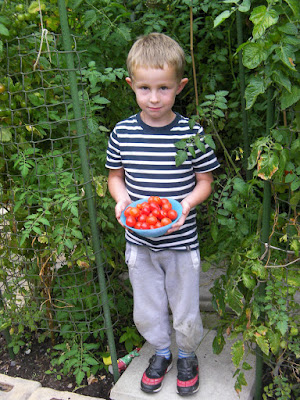 harvesting home-grown tomatoes