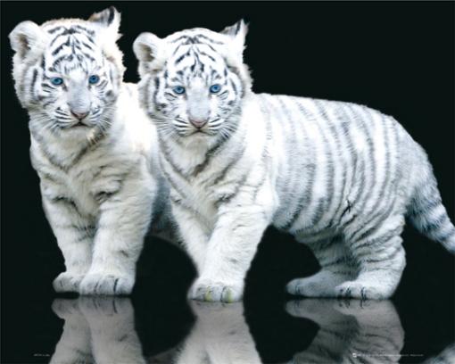 ... dos tigres blancos muy pequenos y lindos es un fondo de pantalla