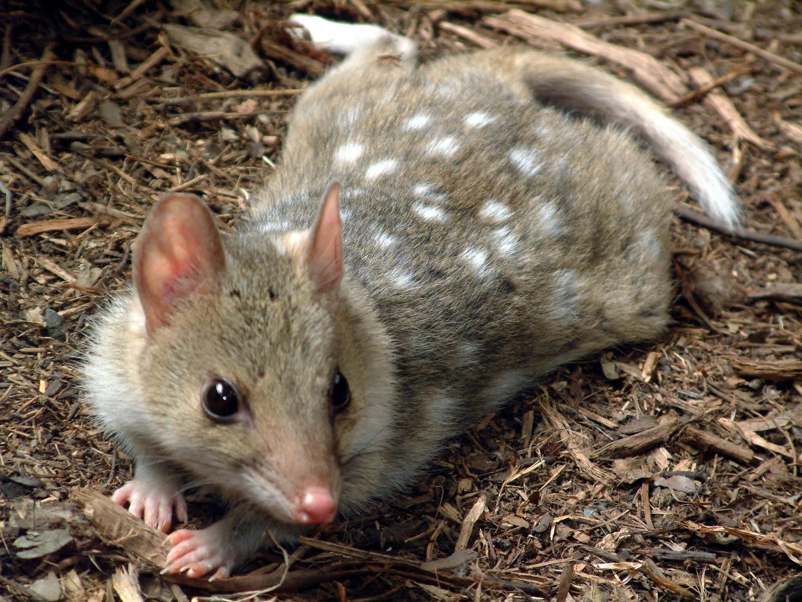 Quoll | The Life of AnimalsKangaroo Rat Eating