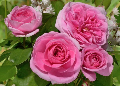 Gertrude Jekyll rose сорт розы фото