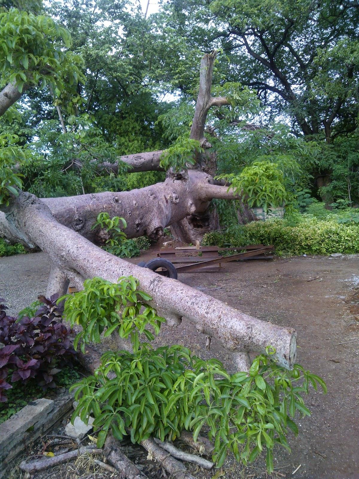 Pune trees, Boabab,