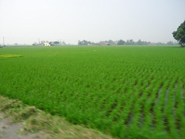 """Padi yang hijau menambah indah panorama mata memandang, dengan hati teduh mengucap tasbih """" subhanallah sesungguhnya tumbuh - tumbuhan berkembang tanpa sepengetahuan manusia"""""""