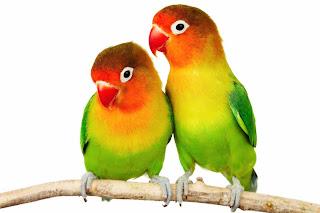 die Papageien - Papagalii
