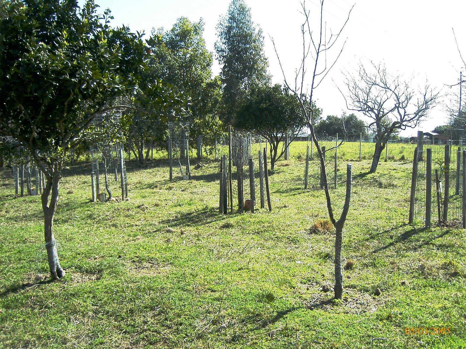 Cultivo de frutiferas Lembranças de infância de subir na laranjeira