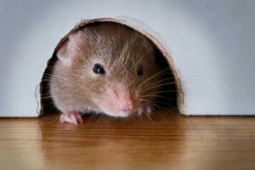 tikus cokelat rumah
