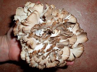 Maitake mushroom also known as the King of Mushroom.
