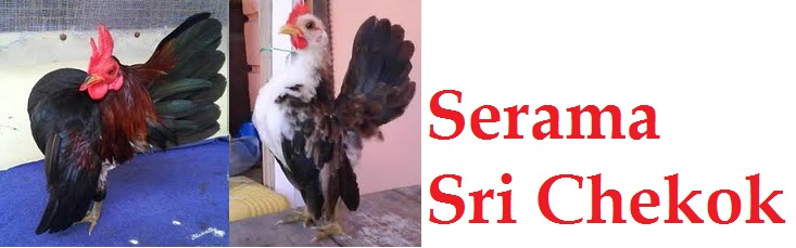 Serama Sri Chekok