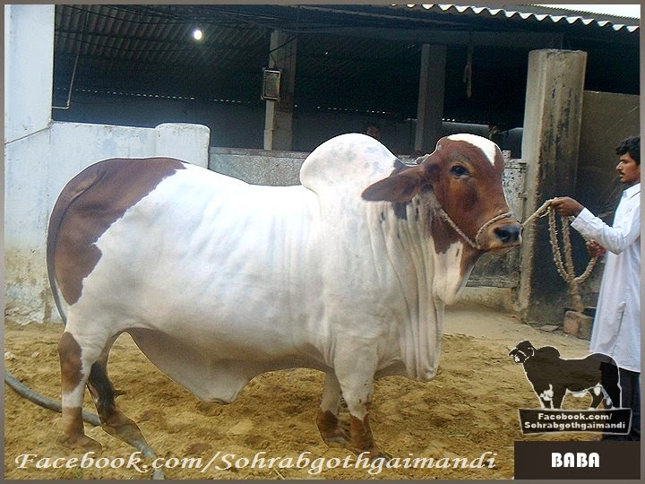 Jamal cattle farm pics and videos