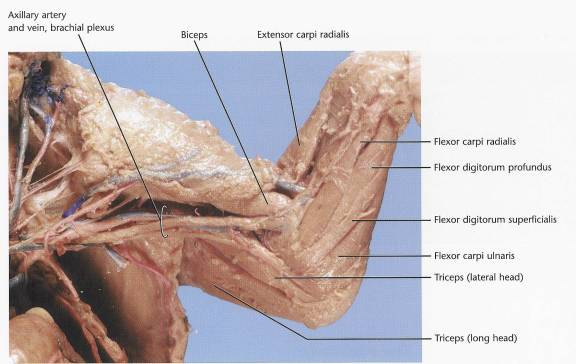 Pig dissection anatomy