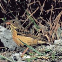 12. Pássaro ortolan