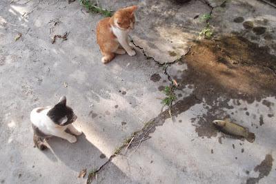 anak kucing dan ikan puyu