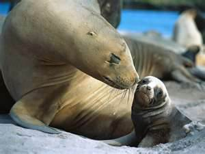 Sea Lion Smooch Auckland Islands New Zealand