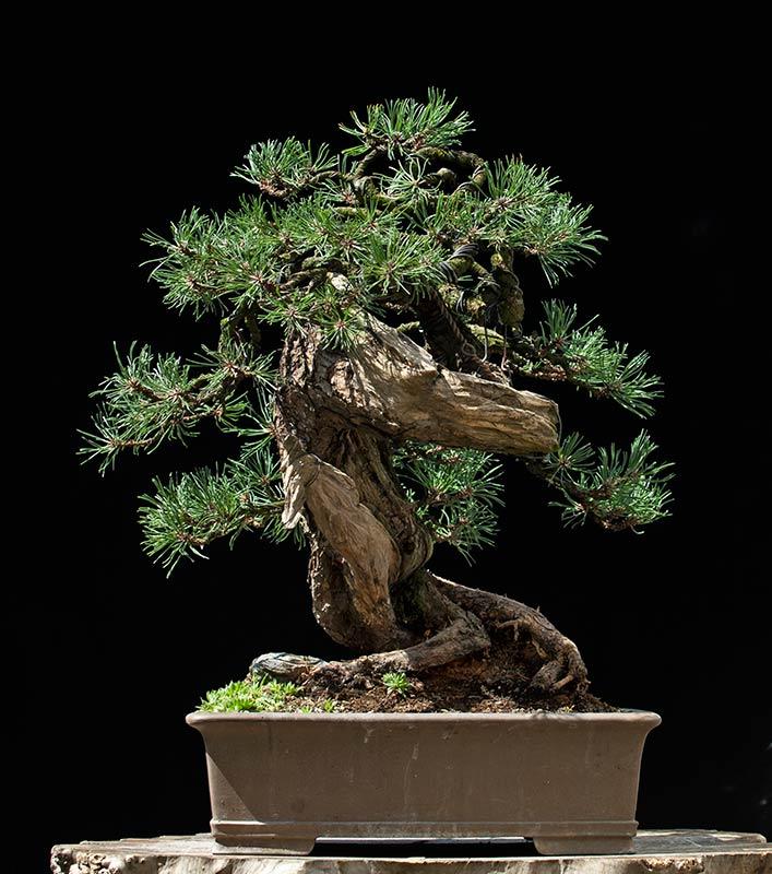 walter pall bonsai adventures mugo pine 42. Black Bedroom Furniture Sets. Home Design Ideas