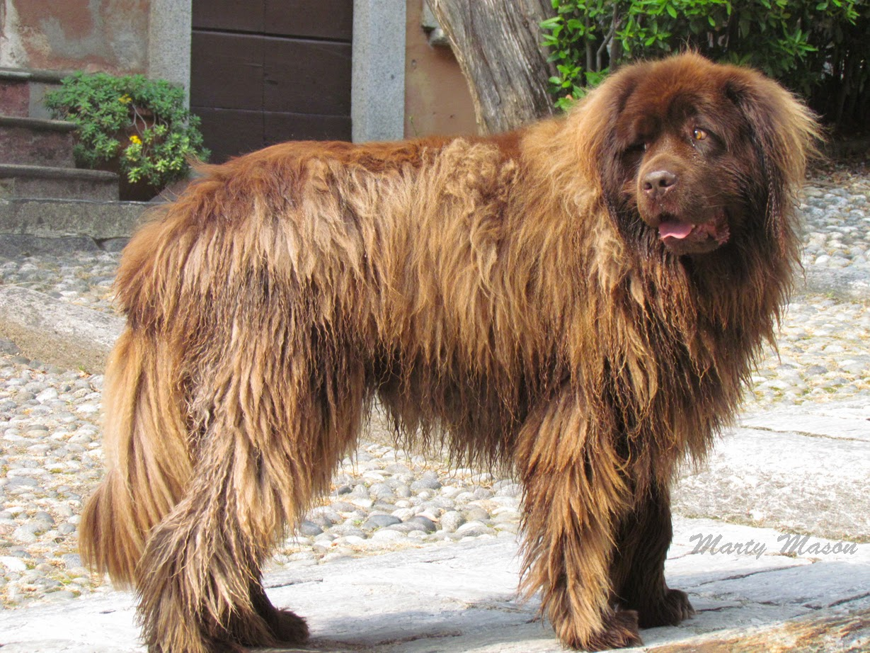 big shaggy dog