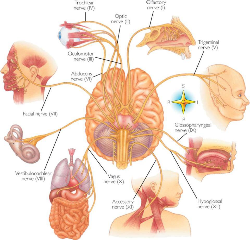 Health>Mind+Body: cranial nerves