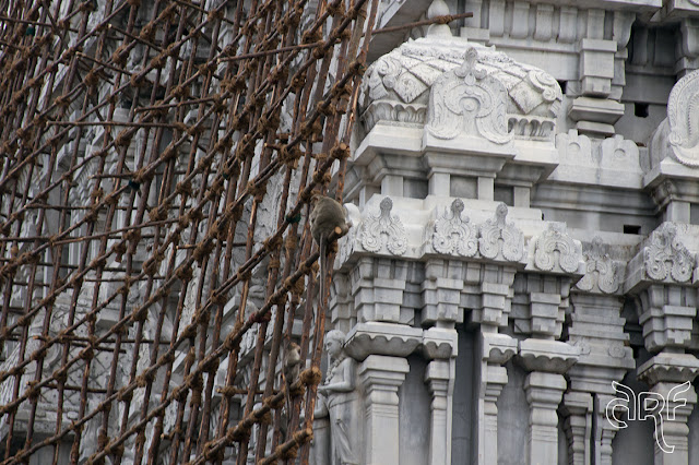 monkeys on temple scaffolding