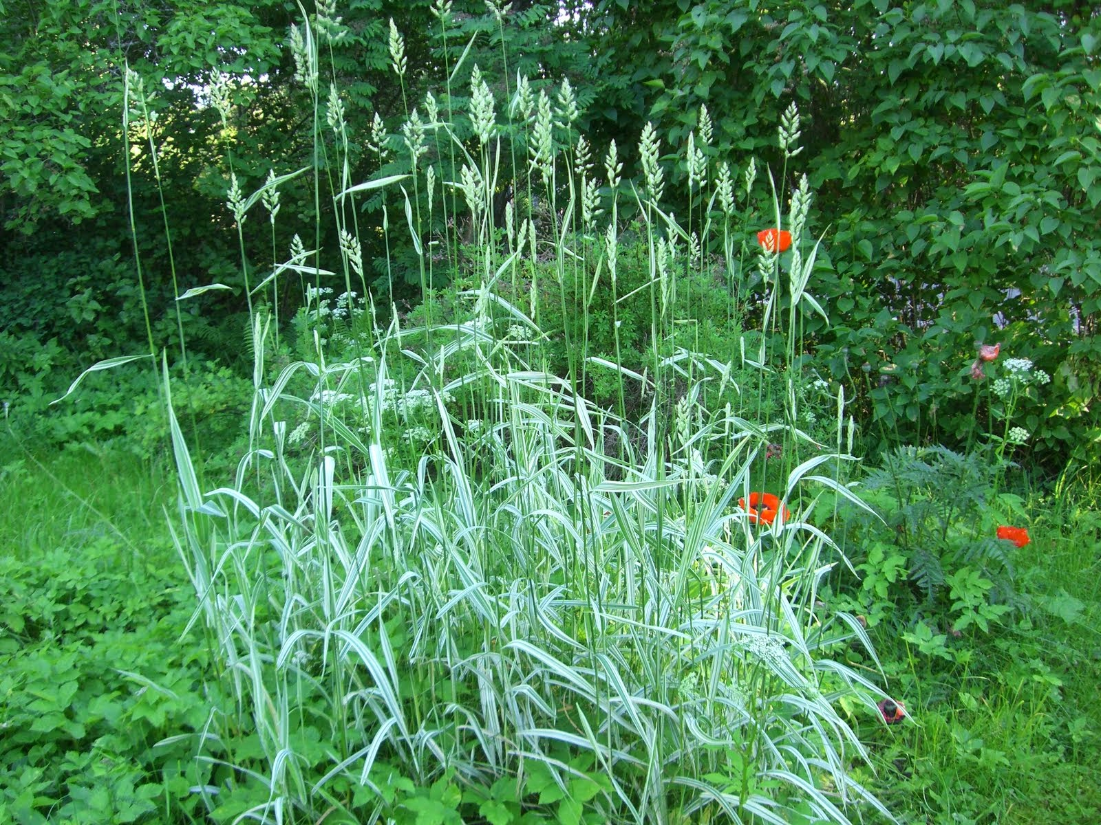 Viiruhelpi Phalaris variegatum