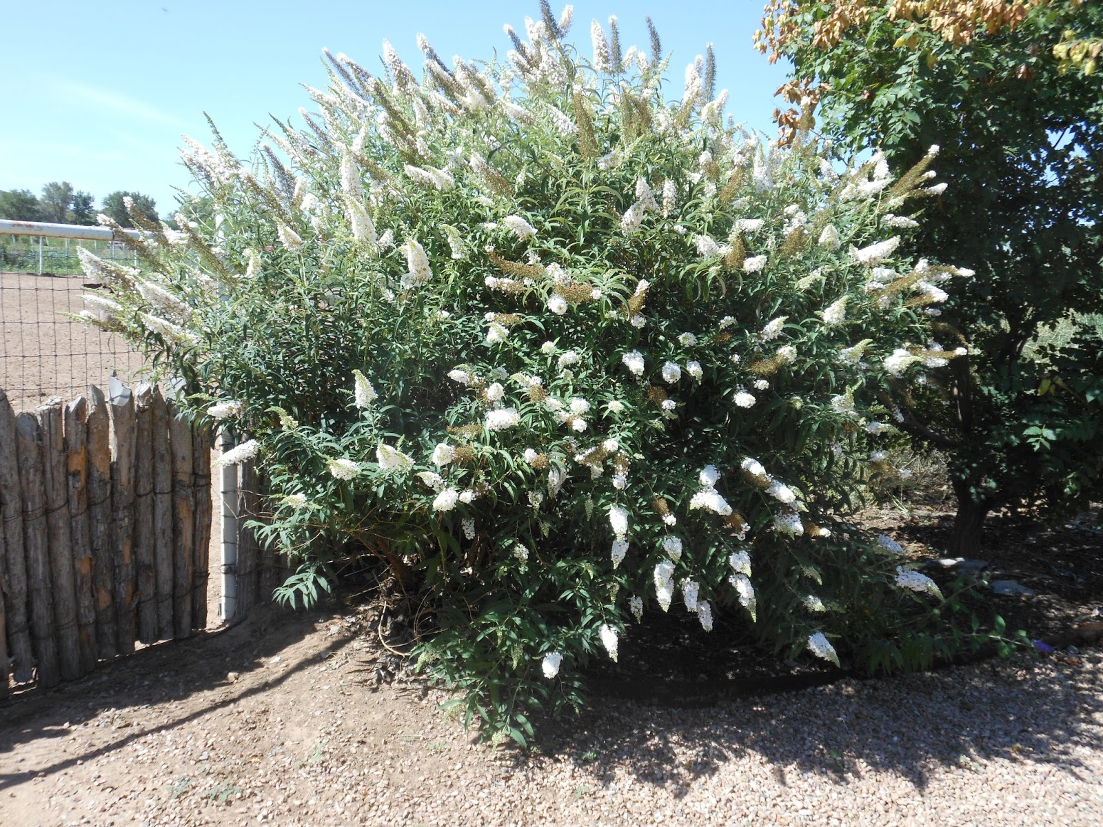 Trees That Please Nursery: Butterfly Bushes: Colorful and ...