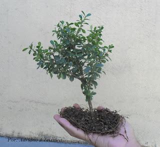 Mundo das plantas como cuidar e cultivar seu bonsai tarefas para realizar durante todo o ano - Como cuidar bonsais ...