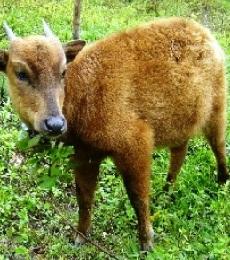 Fauna Asiatis dan Fauna Australis – ciri ciri fauna asiatis, tipe ...