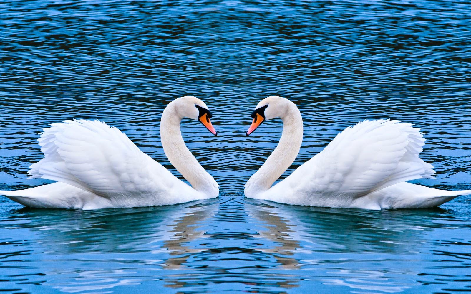 swan love wide