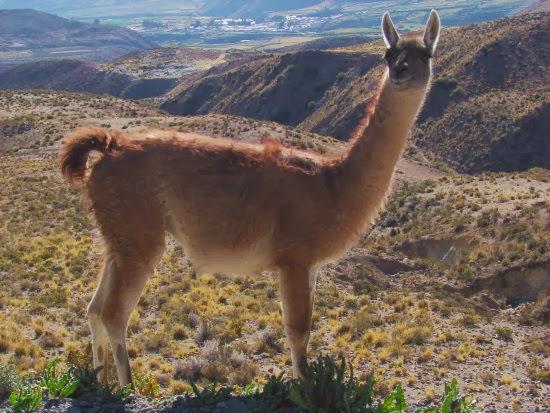 Los criadores sugieren preservar al guanaco