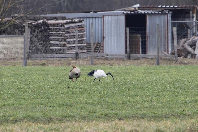 African sacred ibis (Threskiornis aethiopicus) in Germany