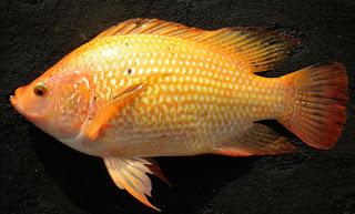 umpan mancing ikan nila liar,umpan mancing ikan nila besar,umpan mancing ikan nila merah,umpan mancing ikan nila di danau,umpan mancing ikan nila kolam,resep umpan mancing ikan nila,