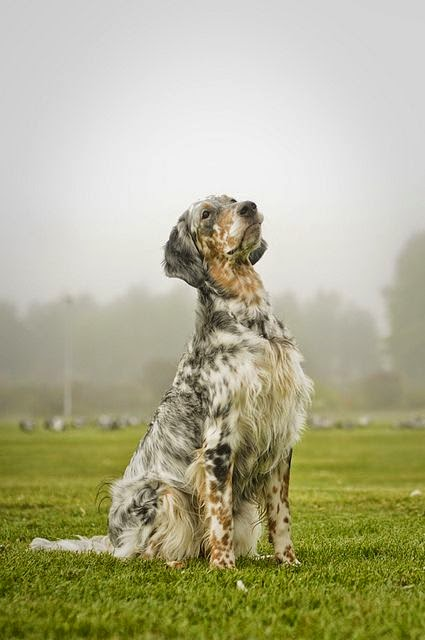 Amazingly there's been a marked decline in the popularity of these gorgeous English Setter's