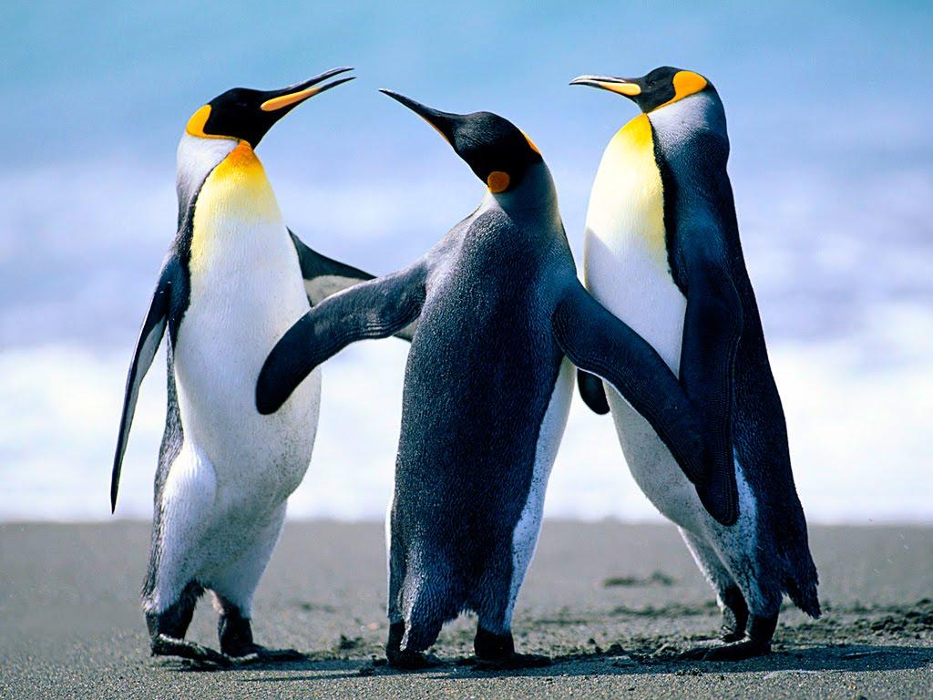 O G Penguin Banyus-Képek: Fal...
