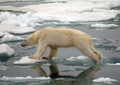 Endangered polar bears amper bae endangered polar bears