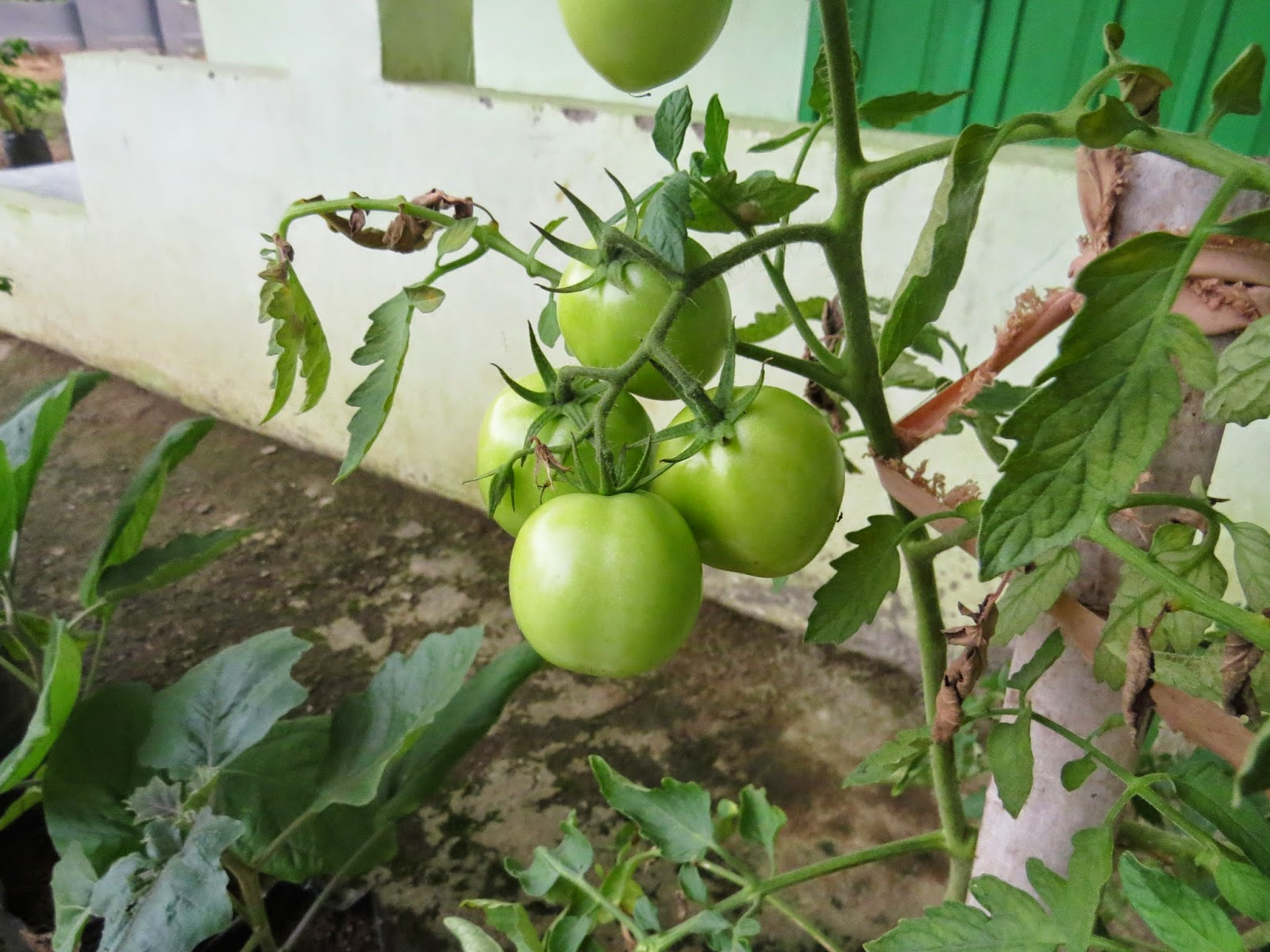 Buah Tomat Apel