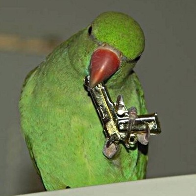 Papegøje gnaver på pistol