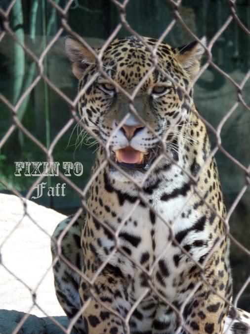 Cameron Park Zoo Jaguar