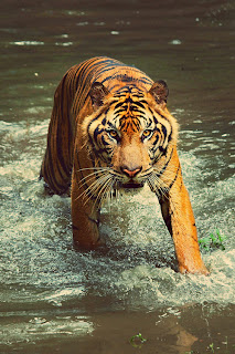 tiger looking angry in water
