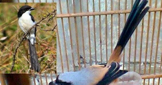 Jenis Jenis Burung Pentet Lokal Atau Madura