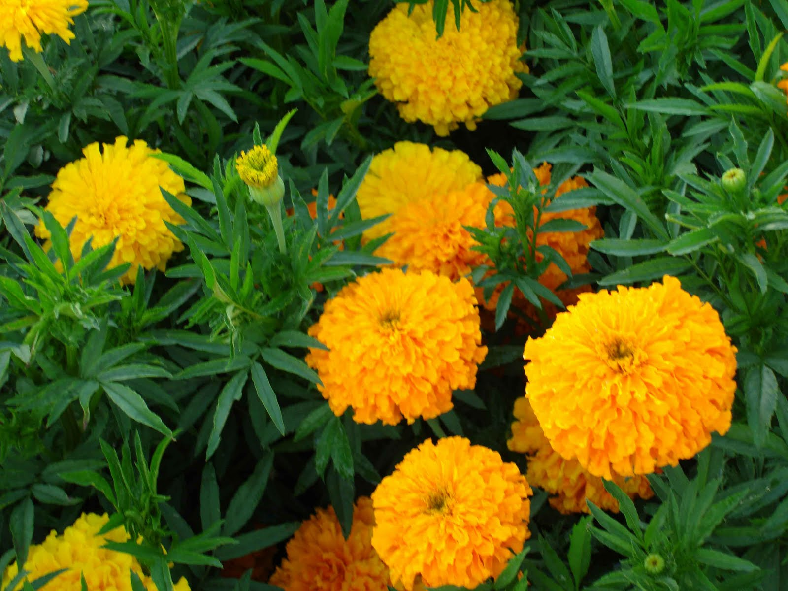 Marigold flower wallpaper hd wallpapers widescreen desktop backgrounds backg