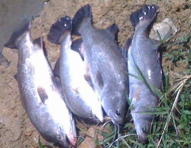 Memancing Ikan siakap