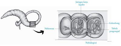 Alat-alat ekskresi cacing tanah annelida