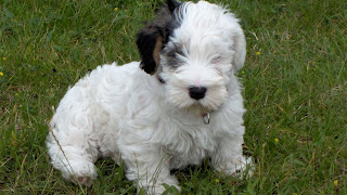 Scottish Terrier Puppy Picture