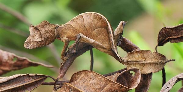 camuflajes de animales - Lagartija satánica cola de hoja