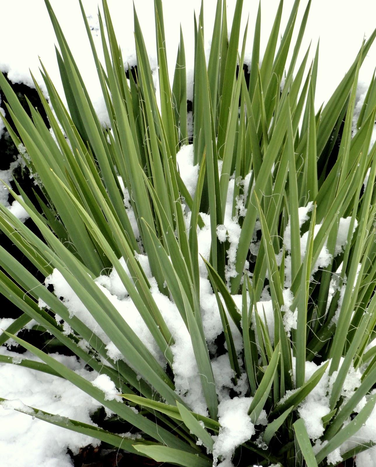 danger garden yucca filamentosa my favorite plant in the. Black Bedroom Furniture Sets. Home Design Ideas