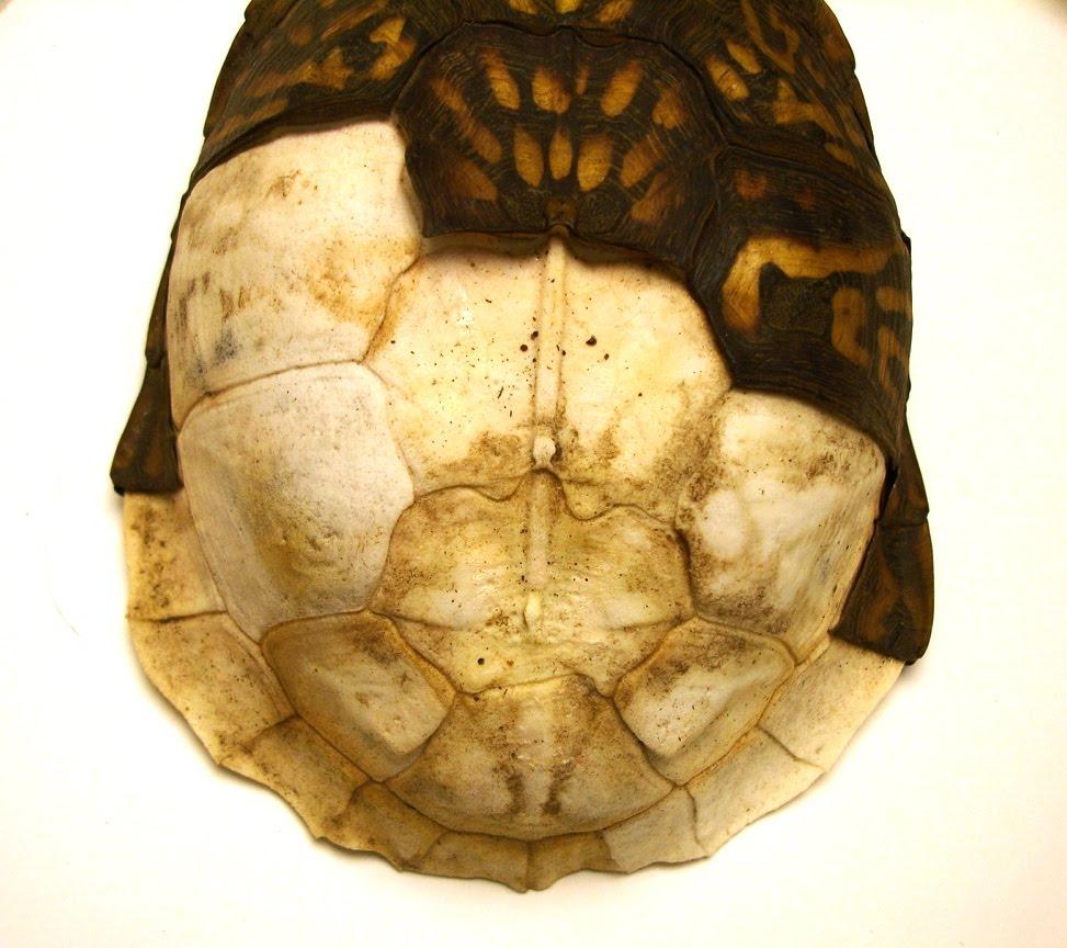 Eilisain: Turtle Shell