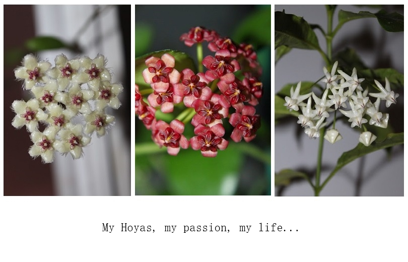 Hoyapassion