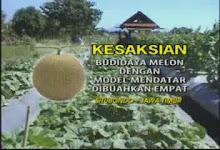 Melon buah 4