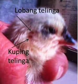 anak ayam bangkok jantan