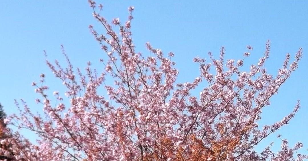vu des collines le cerisier fleurs prouve que ce monde est mal foutu. Black Bedroom Furniture Sets. Home Design Ideas